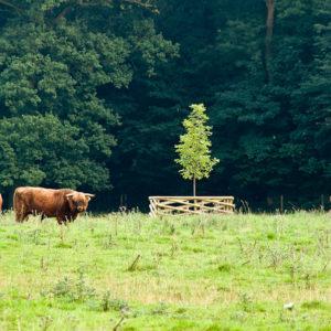 Acres Wild Georgian Grandeur Bulls
