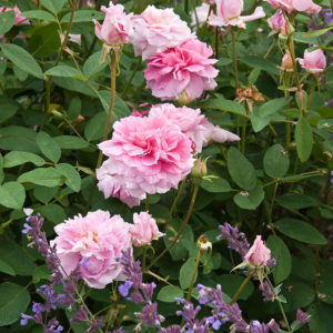 Acres Wild Georgian Grandeur Pink roses