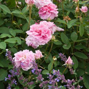 Acres Wild Georgian Grandeur Pink roses
