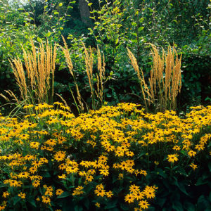 Acres Wild Meandering Meadow Rudbeckia