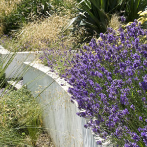 Acres Wild Bright'n Breezy Lavender
