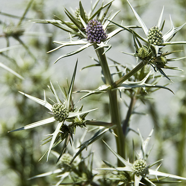 Acres Wild Bright'n Breezy Seaholly