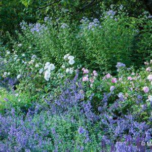 Acres Wild Edwardian Elegance Nepeta