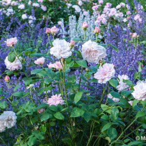 Acres Wild Edwardian Elegance Rose