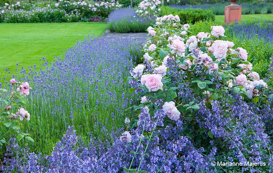 Acres Wild Edwardian Elegance Roses