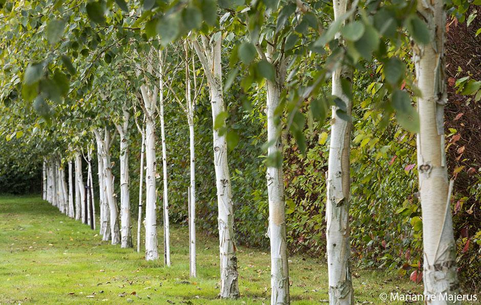 Acres Wild Silver Birch Line