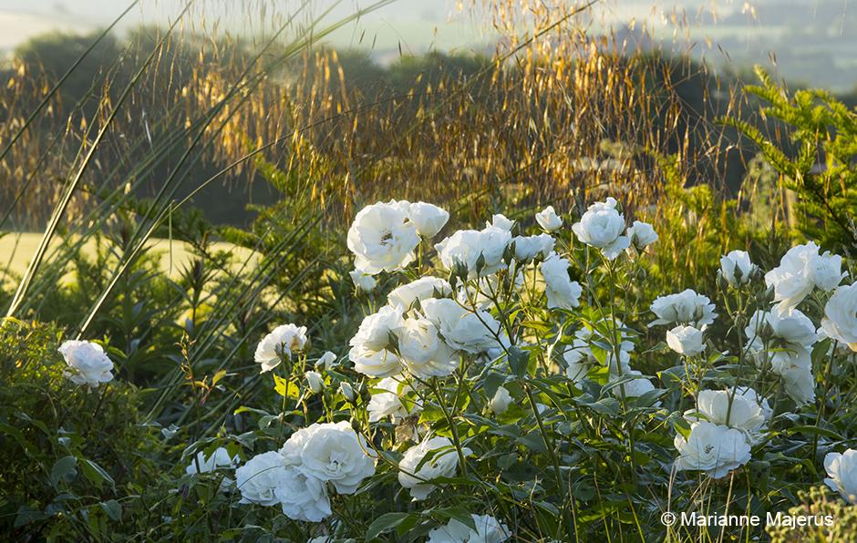 Acres Wild White Roses Iceberg