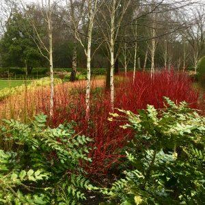 Acres Wild Surrey Serene Dogwoods with Silver Birch