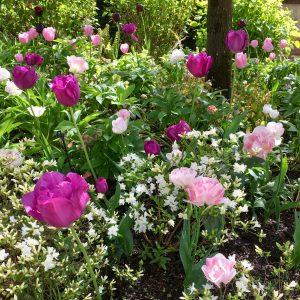 Acres Wild Surrey Serene Pink Tulips