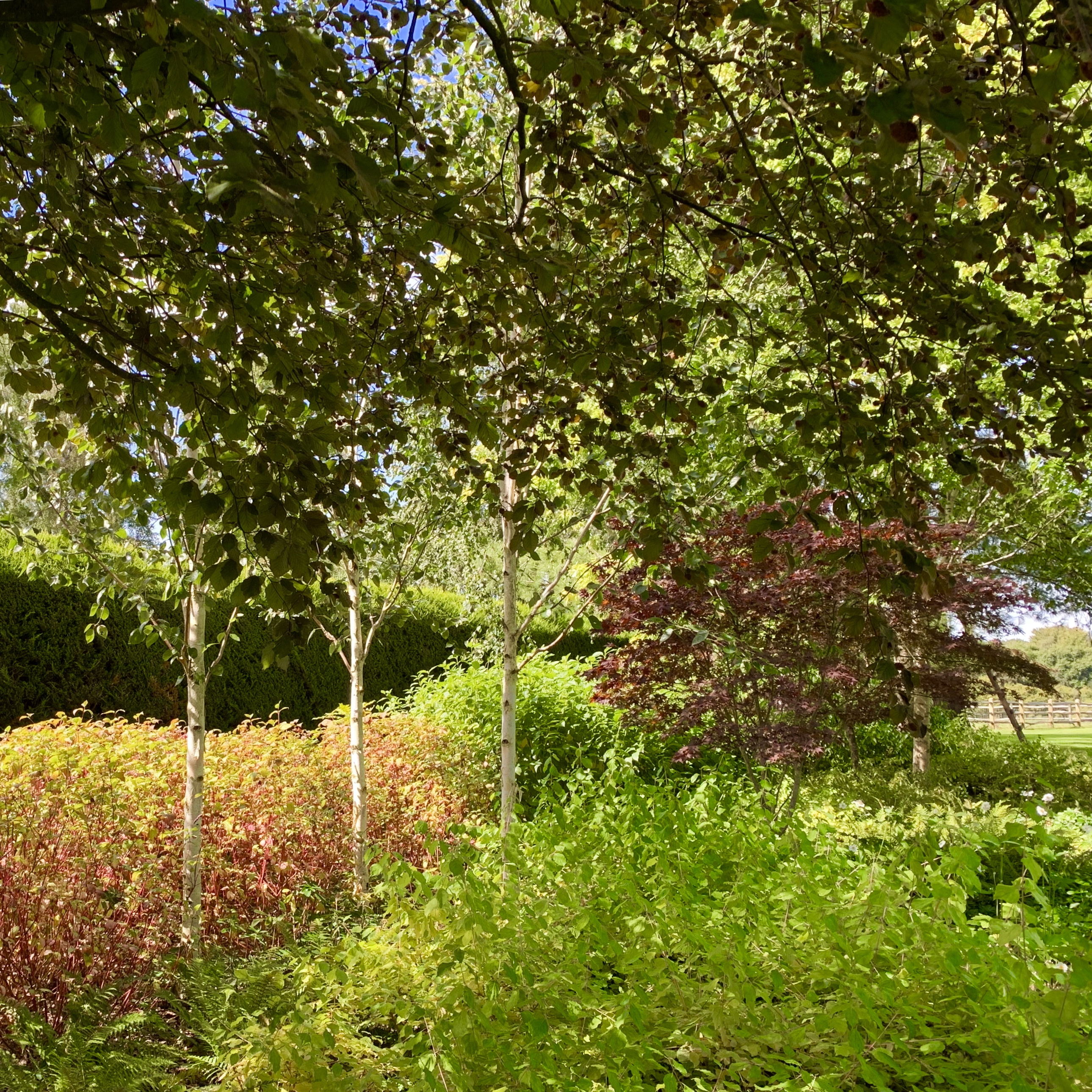 Acres Wild Surrey Serene Silver Birch Trees