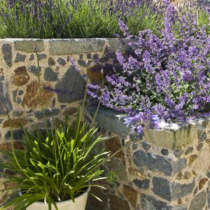 Acres Wild Guernsey Garden Agapanthus and Nepeta Planting