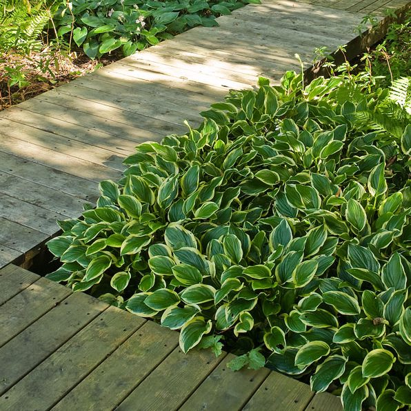 Acres Wild Form and Foliage Hosta's against Decking