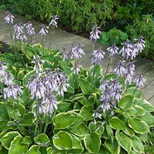 Acres Wild Form and Foliage Hostas Flowering