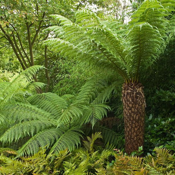 Acres Wild Form and Foliage Tree Fern