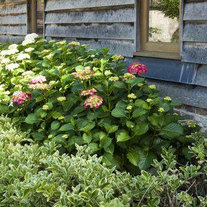 Acres Wild Rural Retreat Hydrangeas